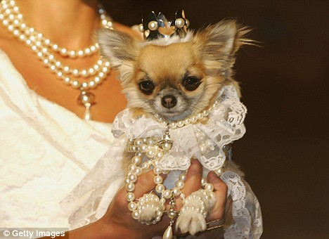 Precious pooch dressed for wedding