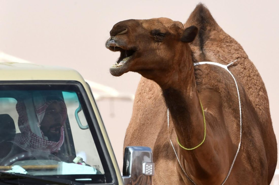 A camel stands next to a car during a beauty contest as part of the annual King Abdulaziz Camel Festival in Rumah, Saudi Arabia, on January 19. FAYEZ NURELDINE/AFP/GETTY IMAGES