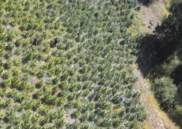 More than 14,500 marijuana plants were found Friday in this field in Pike National Forest near Deckers. Federal and local agents also discovered a rifle, piles of discarded garbage and propane tanks on the pot farm, which was the size of a football field. It could be the largest marijuana-growing operation ever found in Colorado. Two suspects, both illegal immigrants from Mexico, were arrested. (Denver Post)
